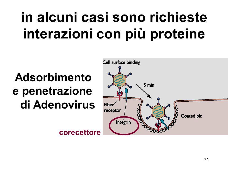 22 in alcuni casi sono richieste interazioni con più proteine Adsorbimento e penetrazione di Adenovirus corecettore