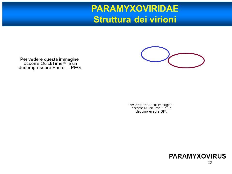 28 PARAMYXOVIRIDAE Struttura dei virioni PARAMYXOVIRUS