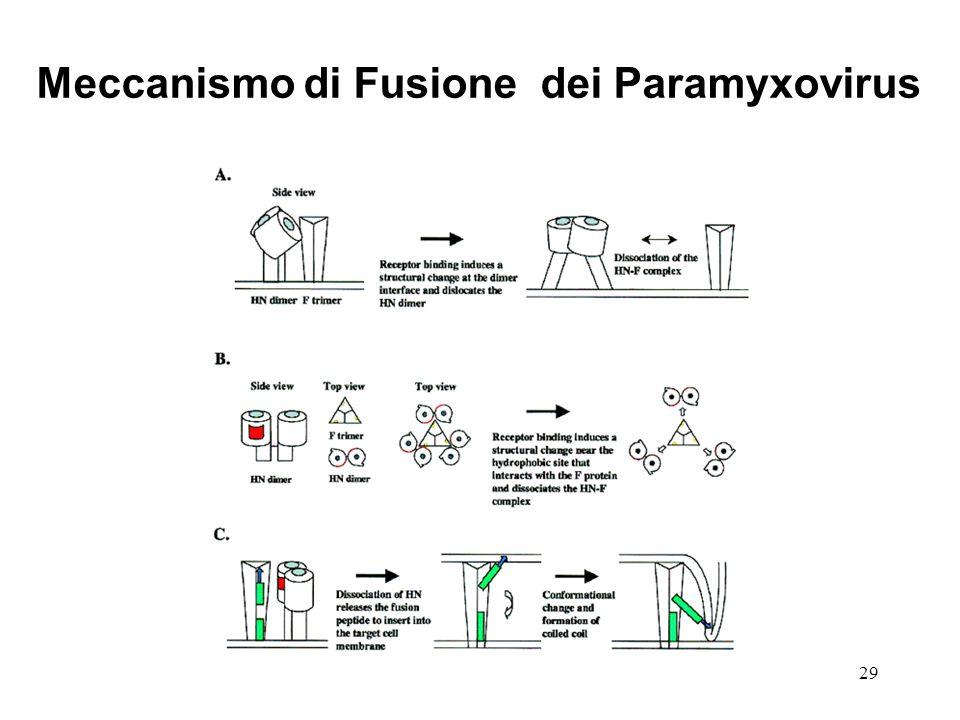 29 Meccanismo di Fusione dei Paramyxovirus
