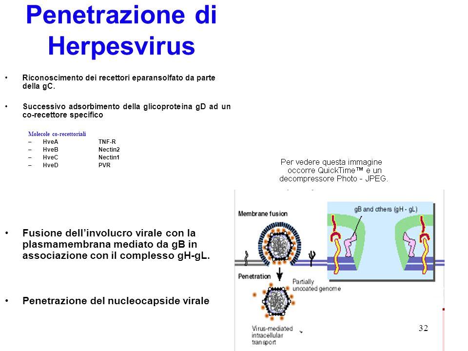 32 Penetrazione di Herpesvirus Riconoscimento dei recettori eparansolfato da parte della gC. Successivo adsorbimento della glicoproteina gD ad un co-r