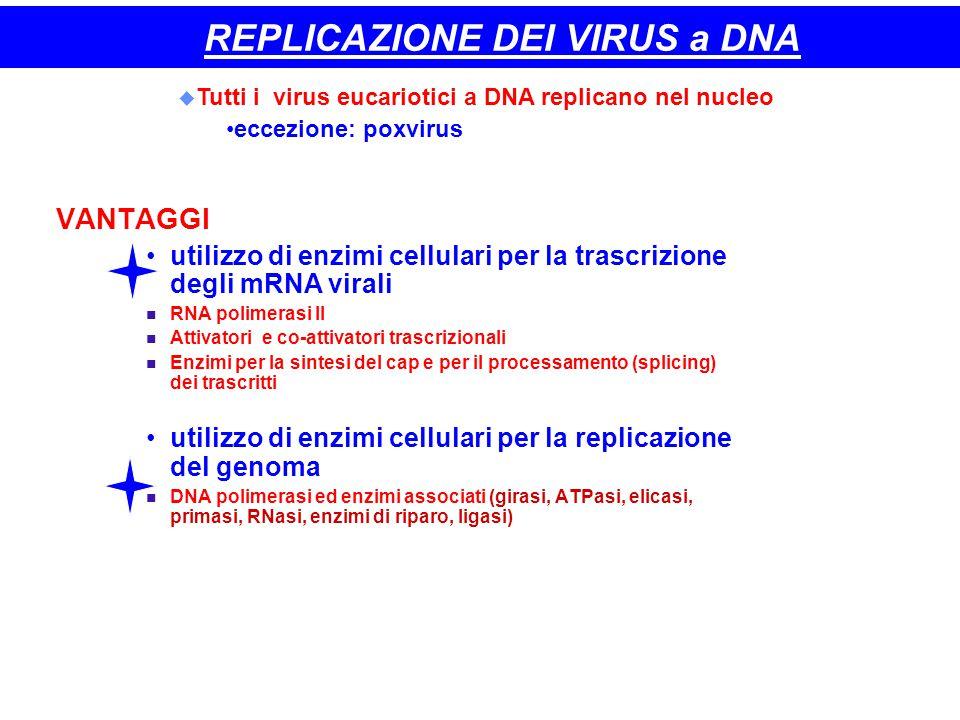 37 REPLICAZIONE DEI VIRUS a DNA VANTAGGI utilizzo di enzimi cellulari per la trascrizione degli mRNA virali RNA polimerasi II Attivatori e co-attivato