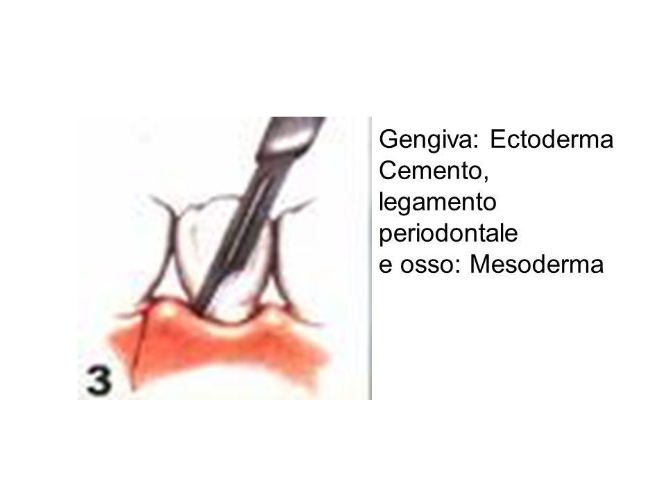 Gengiva: Ectoderma Cemento, legamento periodontale e osso: Mesoderma