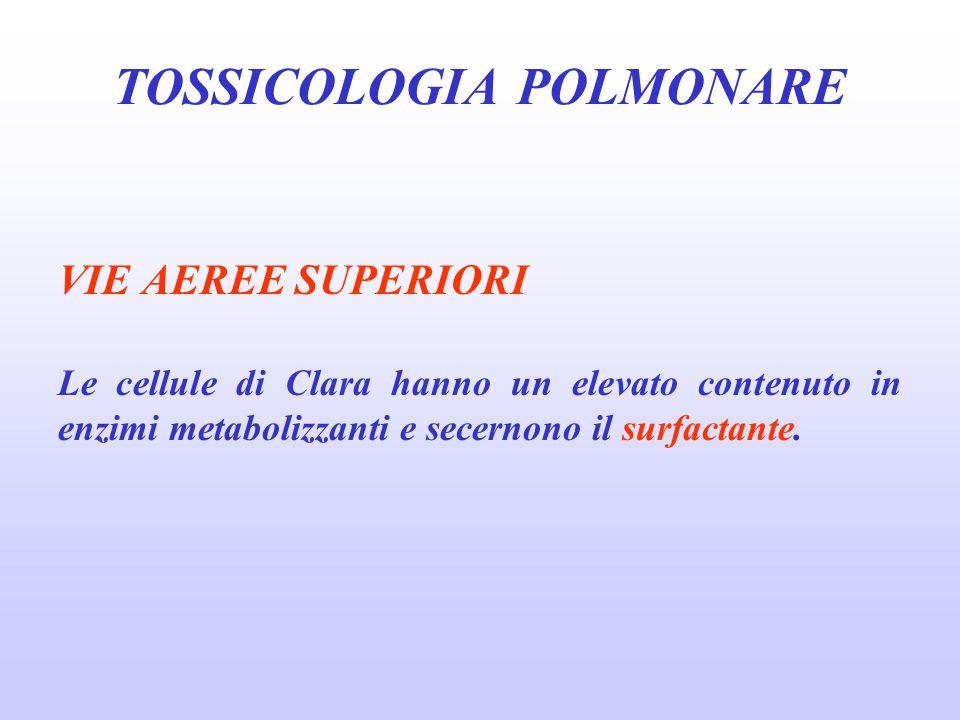 VIE AEREE SUPERIORI Le cellule di Clara hanno un elevato contenuto in enzimi metabolizzanti e secernono il surfactante. TOSSICOLOGIA POLMONARE