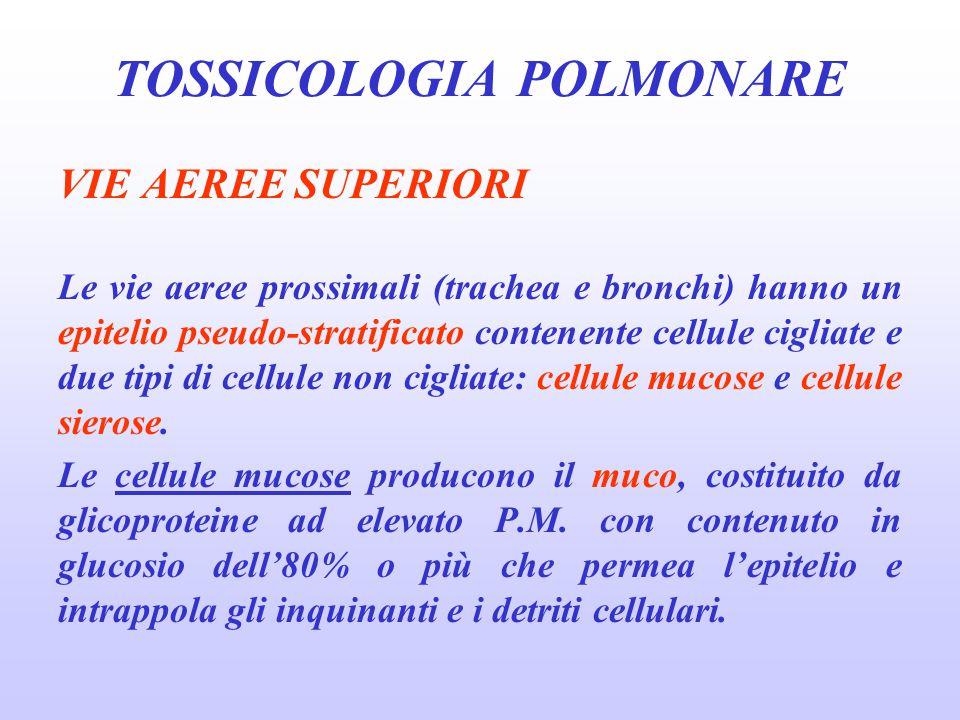 VIE AEREE SUPERIORI Le vie aeree prossimali (trachea e bronchi) hanno un epitelio pseudo-stratificato contenente cellule cigliate e due tipi di cellul