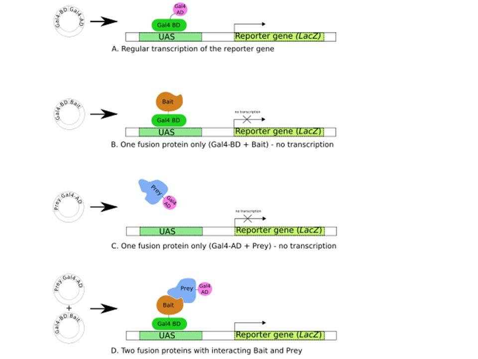 APPLICAZIONI DELLE PROTEINE DI FUSIONE Proteina di fusione Proteina Tag Saggi di Pull-Down Saggi di Doppio Ibrido Saggi di legame Tecniche per studiare le interazioni proteina-proteina
