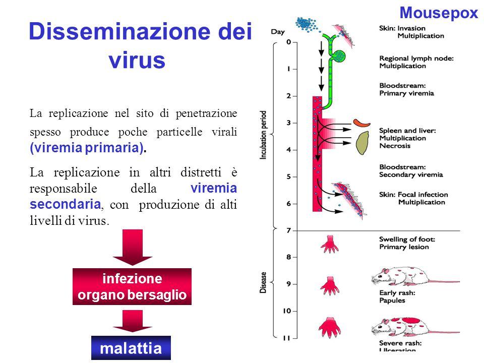 Disseminazione dei virus La replicazione nel sito di penetrazione spesso produce poche particelle virali (viremia primaria). La replicazione in altri