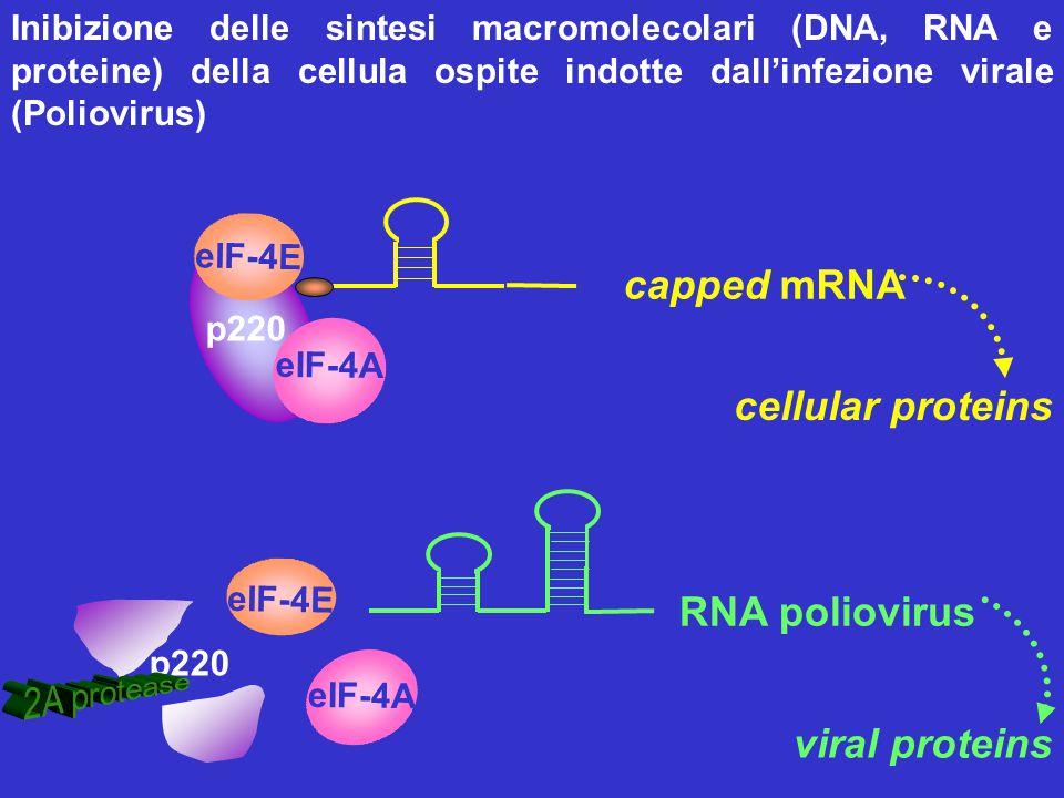 eIF-4E p220 eIF-4A capped mRNA cellular proteins p220 eIF-4E eIF-4A RNA poliovirus viral proteins Inibizione delle sintesi macromolecolari (DNA, RNA e
