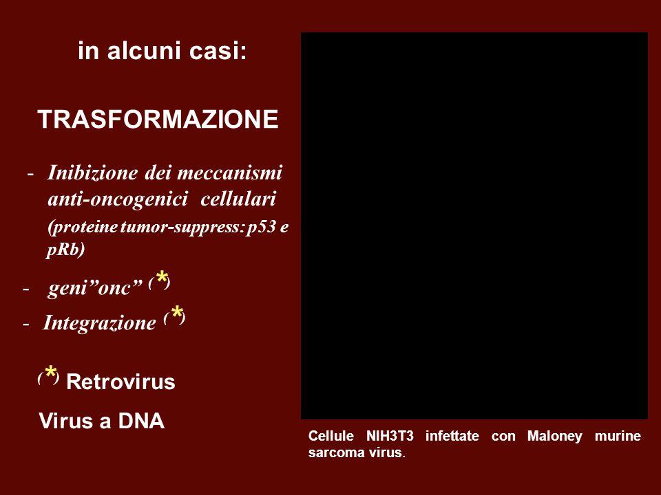 TRASFORMAZIONE Virus a DNA -Inibizione dei meccanismi anti-oncogenici cellulari (proteine tumor-suppress: p53 e pRb) Cellule NIH3T3 infettate con Malo