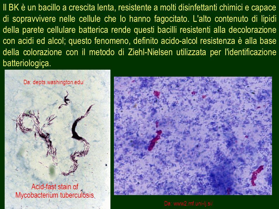8 Il BK è un bacillo a crescita lenta, resistente a molti disinfettanti chimici e capace di sopravvivere nelle cellule che lo hanno fagocitato.