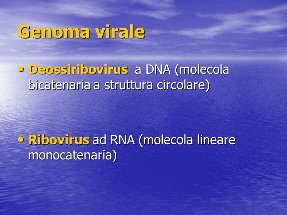 Genoma virale Deossiribovirus a DNA (molecola bicatenaria a struttura circolare) Deossiribovirus a DNA (molecola bicatenaria a struttura circolare) Ribovirus ad RNA (molecola lineare monocatenaria) Ribovirus ad RNA (molecola lineare monocatenaria)