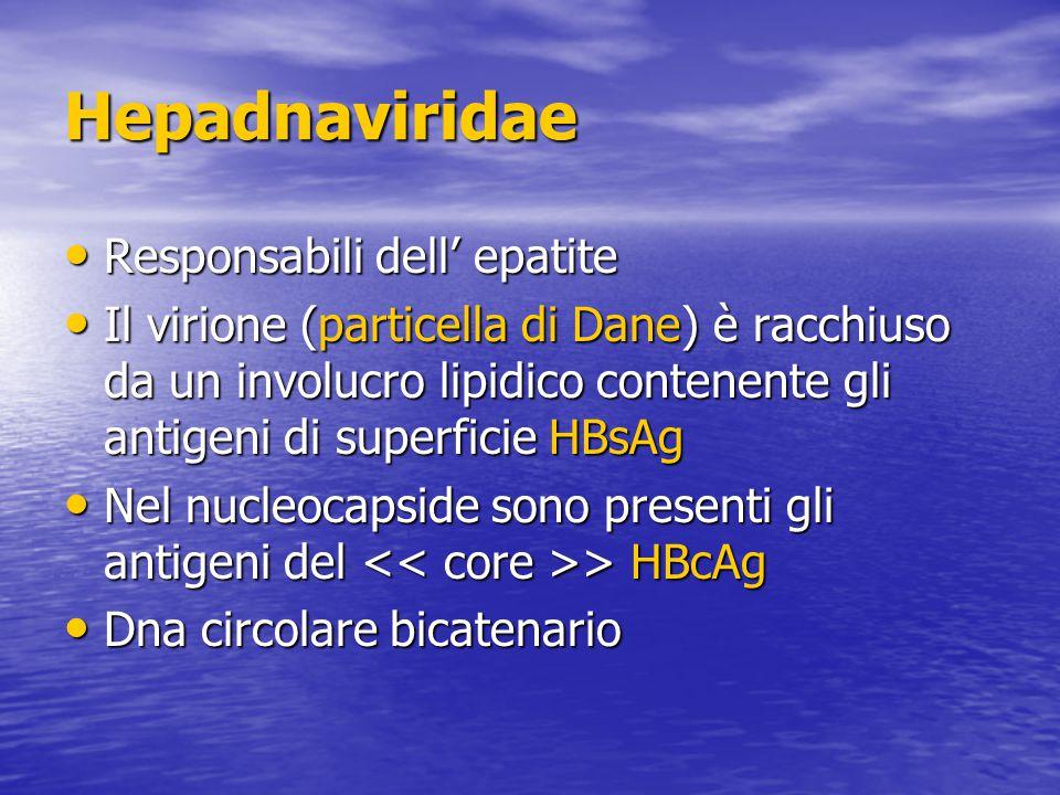 Hepadnaviridae Responsabili dell' epatite Responsabili dell' epatite Il virione (particella di Dane) è racchiuso da un involucro lipidico contenente gli antigeni di superficie HBsAg Il virione (particella di Dane) è racchiuso da un involucro lipidico contenente gli antigeni di superficie HBsAg Nel nucleocapside sono presenti gli antigeni del > HBcAg Nel nucleocapside sono presenti gli antigeni del > HBcAg Dna circolare bicatenario Dna circolare bicatenario
