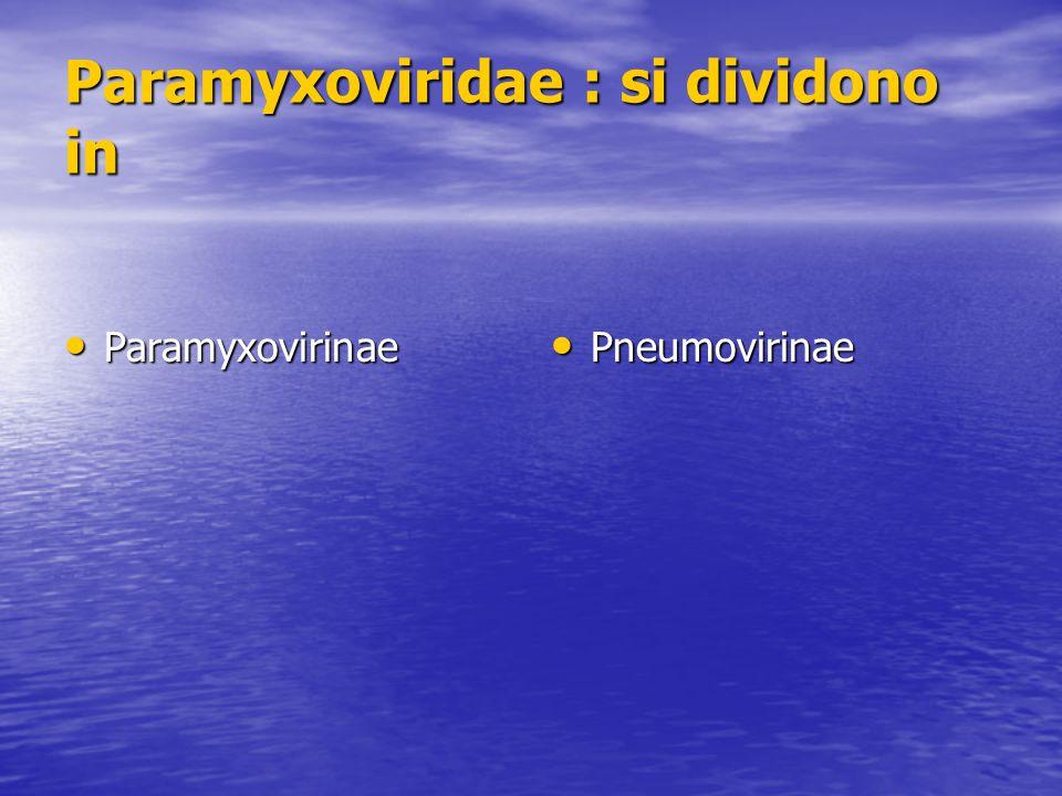 Paramyxoviridae : si dividono in Paramyxovirinae Paramyxovirinae Pneumovirinae Pneumovirinae