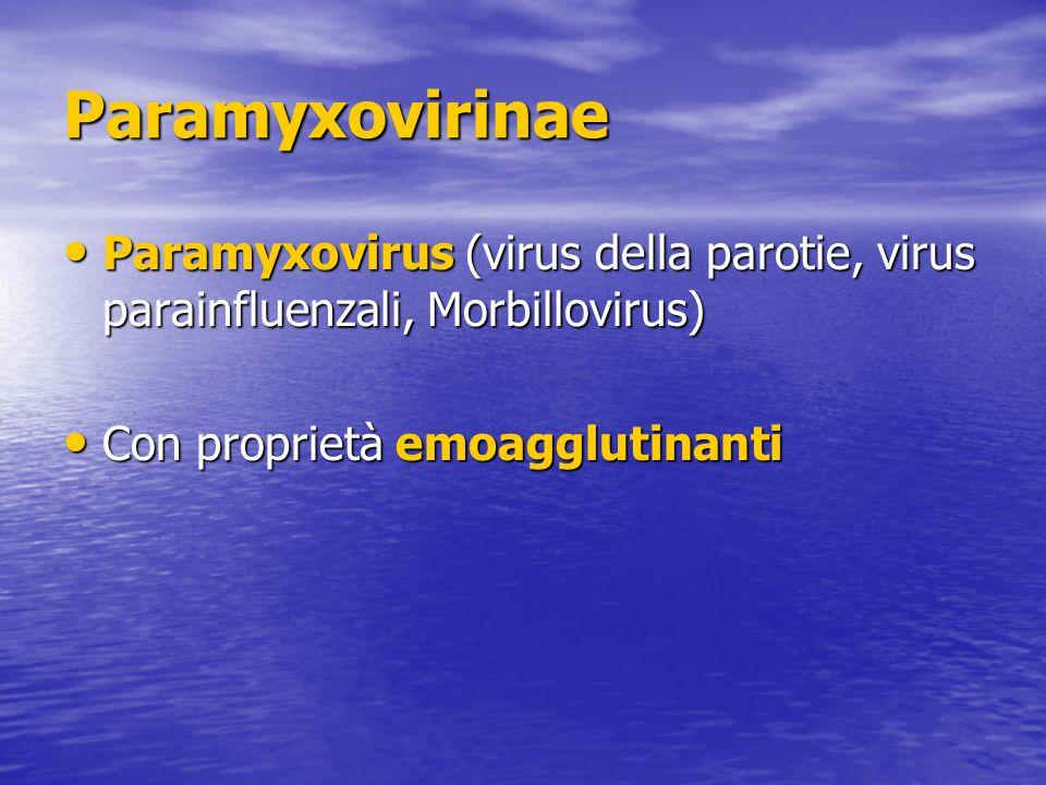 Paramyxovirinae Paramyxovirus (virus della parotie, virus parainfluenzali, Morbillovirus) Paramyxovirus (virus della parotie, virus parainfluenzali, Morbillovirus) Con proprietà emoagglutinanti Con proprietà emoagglutinanti