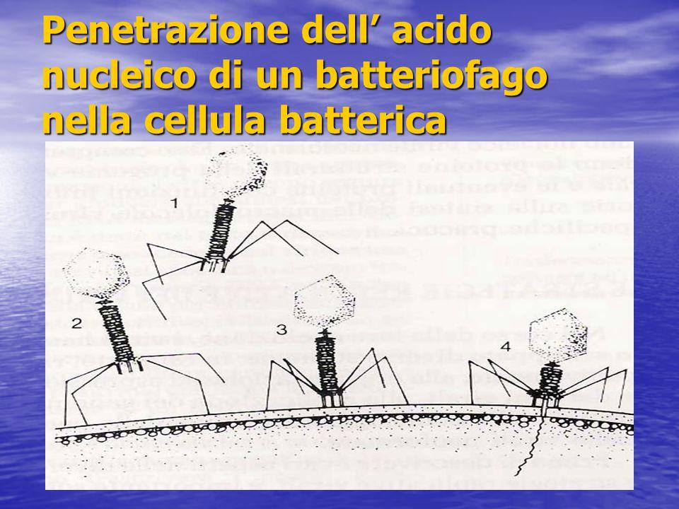 Penetrazione dell' acido nucleico di un batteriofago nella cellula batterica