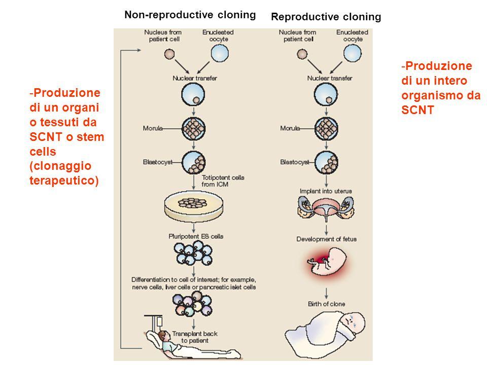 Reproductive cloning Non-reproductive cloning -Produzione di un intero organismo da SCNT -Produzione di un organi o tessuti da SCNT o stem cells (clon