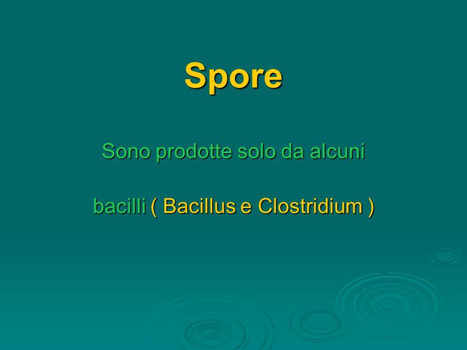 Spore Sono prodotte solo da alcuni bacilli ( Bacillus e Clostridium )
