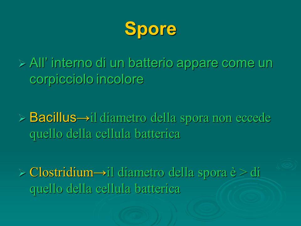 Spore  All' interno di un batterio appare come un corpicciolo incolore  Bacillus →il diametro della spora non eccede quello della cellula batterica
