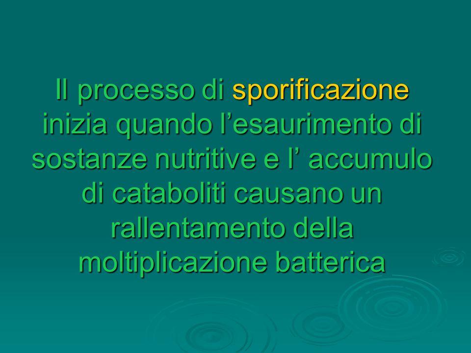 Il processo di sporificazione inizia quando l'esaurimento di sostanze nutritive e l' accumulo di cataboliti causano un rallentamento della moltiplicaz