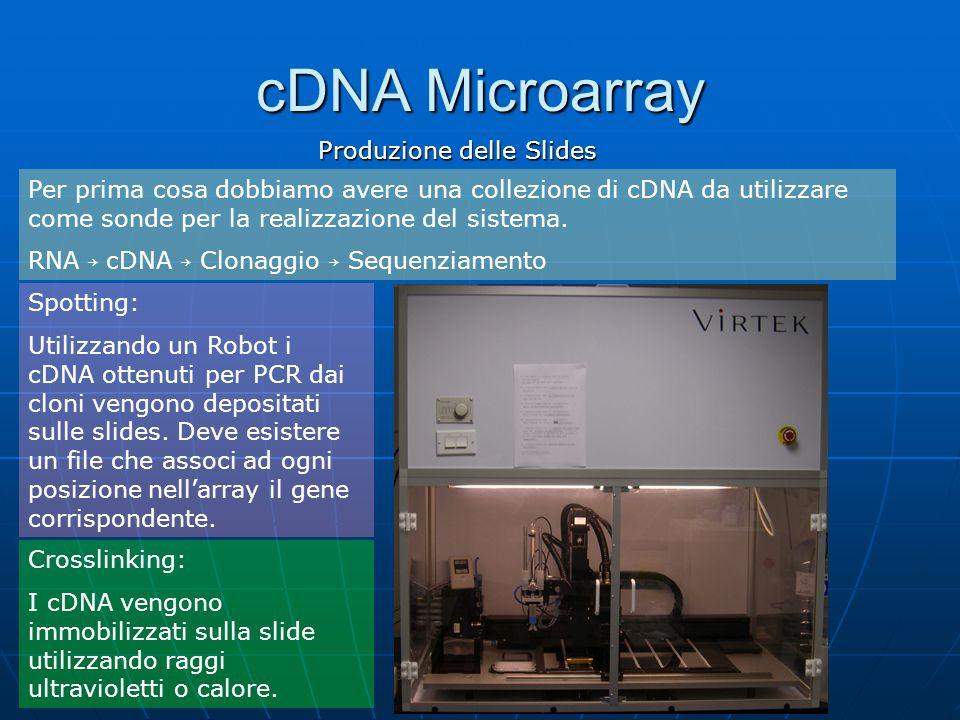 cDNA Microarray Produzione delle Slides Per prima cosa dobbiamo avere una collezione di cDNA da utilizzare come sonde per la realizzazione del sistema.