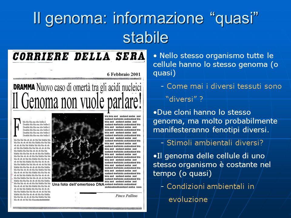 """Il genoma: informazione """"quasi"""" stabile Nello stesso organismo tutte le cellule hanno lo stesso genoma (o quasi) - Come mai i diversi tessuti sono """"di"""