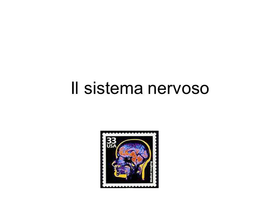 31 segmenti, 31 coppie di nervi spinali
