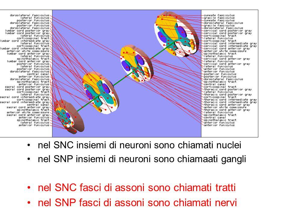 nel SNC insiemi di neuroni sono chiamati nuclei nel SNP insiemi di neuroni sono chiamaati gangli nel SNC fasci di assoni sono chiamati tratti nel SNP
