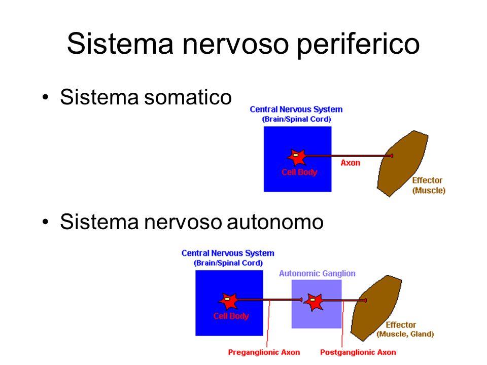 Sistema nervoso periferico Sistema somatico Sistema nervoso autonomo