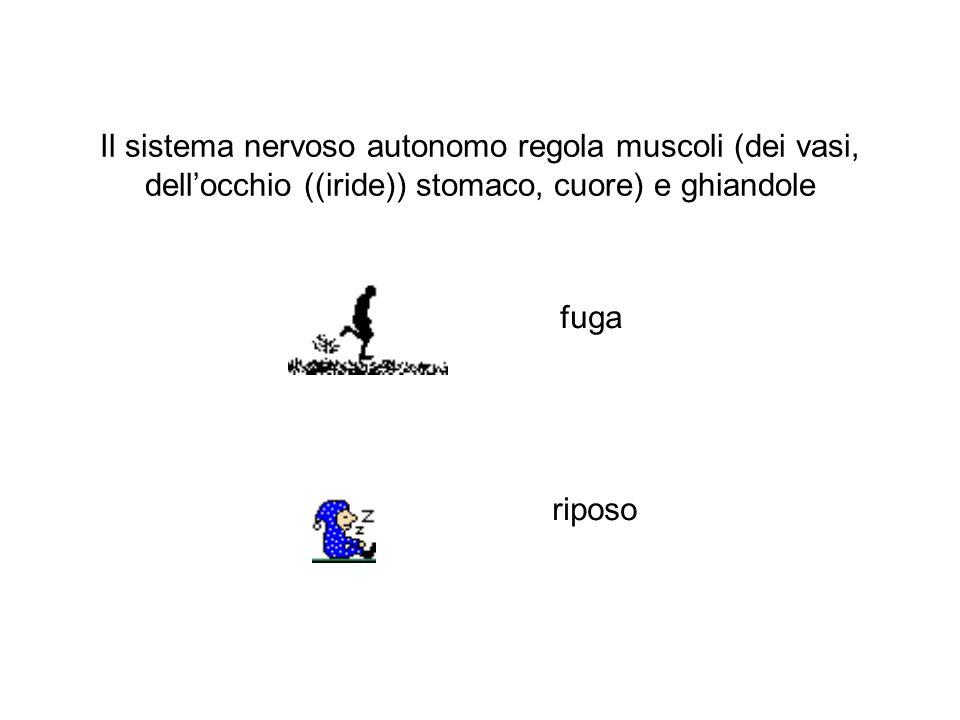Il sistema nervoso autonomo regola muscoli (dei vasi, dell'occhio ((iride)) stomaco, cuore) e ghiandole fuga riposo