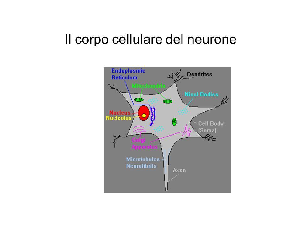 Il corpo cellulare del neurone