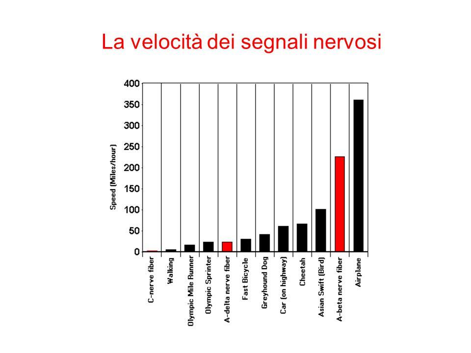 La velocità dei segnali nervosi