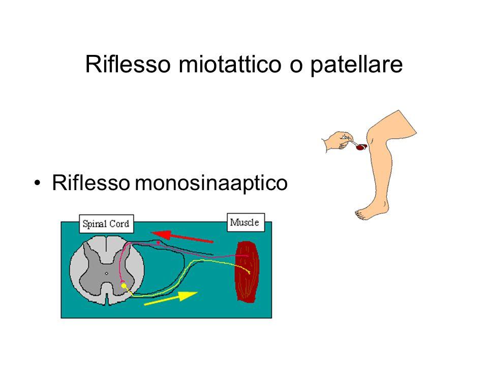 Riflesso miotattico o patellare Riflesso monosinaaptico