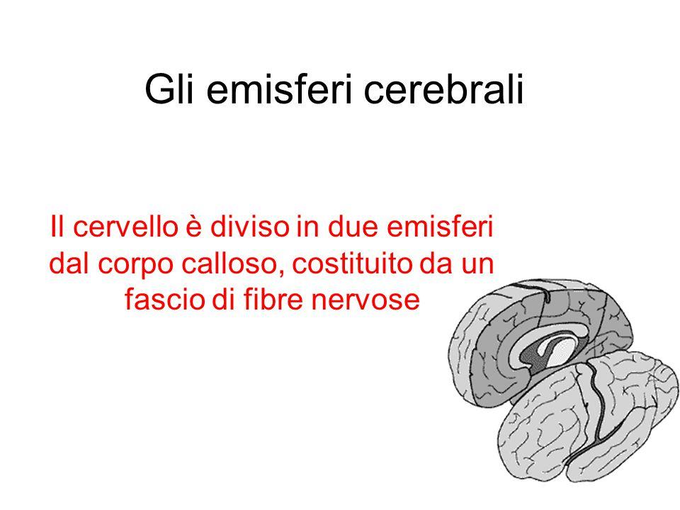 Gli emisferi cerebrali Il cervello è diviso in due emisferi dal corpo calloso, costituito da un fascio di fibre nervose