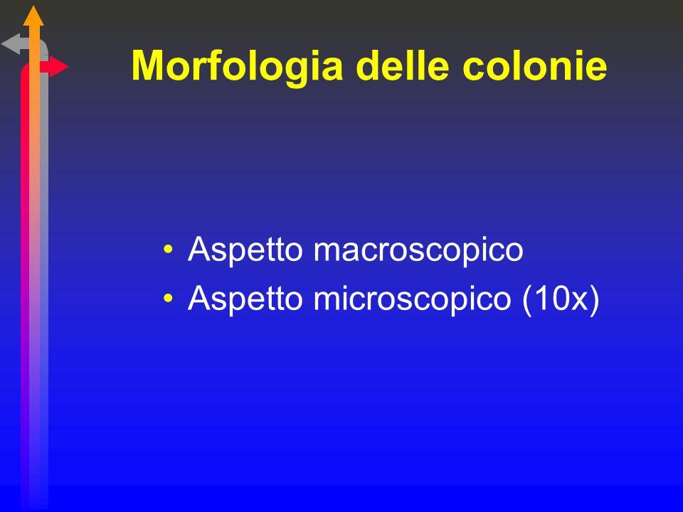 Morfologia delle colonie Aspetto macroscopico Aspetto microscopico (10x)
