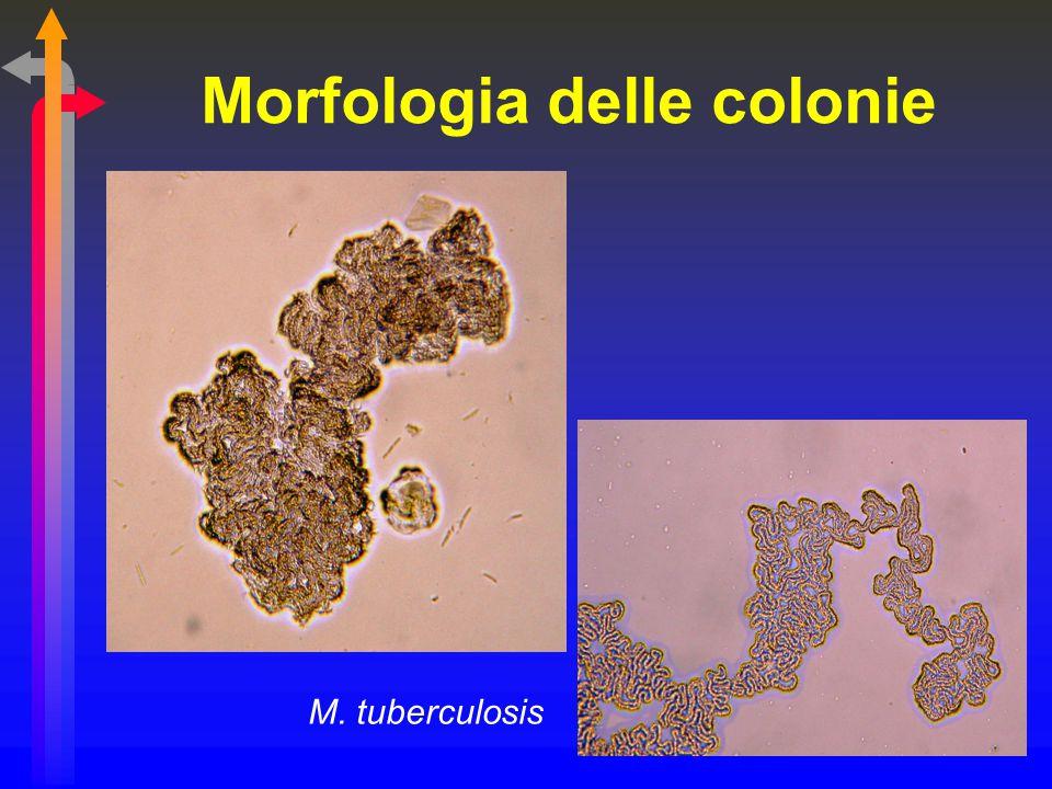 Morfologia delle colonie M. tuberculosis