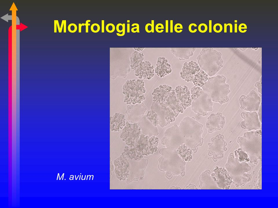 Morfologia delle colonie M. avium