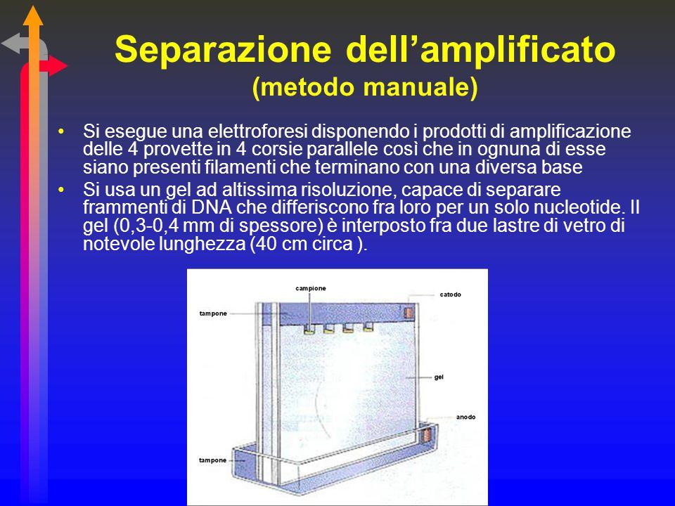 Separazione dell'amplificato (metodo manuale) Si esegue una elettroforesi disponendo i prodotti di amplificazione delle 4 provette in 4 corsie paralle