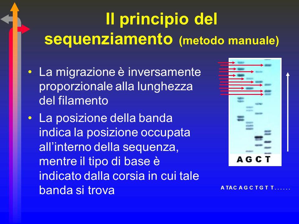Il principio del sequenziamento (metodo manuale) La migrazione è inversamente proporzionale alla lunghezza del filamento La posizione della banda indi