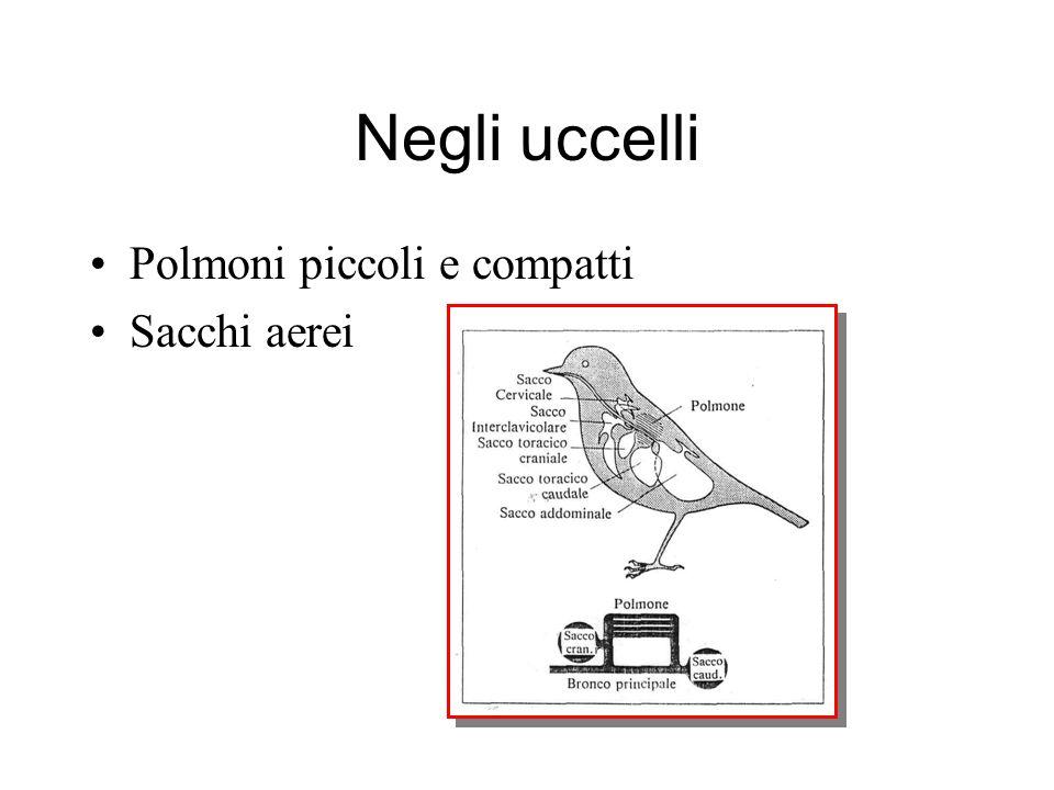 Negli uccelli Polmoni piccoli e compatti Sacchi aerei