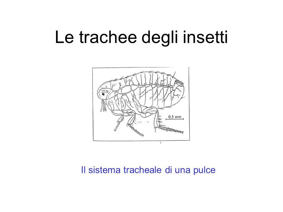 Le trachee degli insetti Il sistema tracheale di una pulce