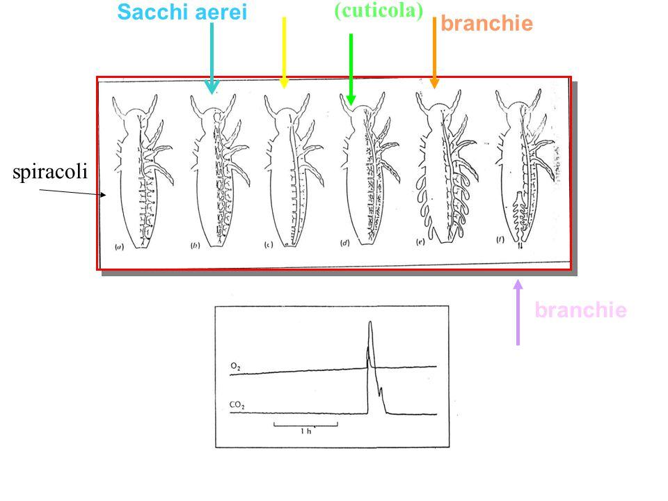 branchie (cuticola) Sacchi aerei spiracoli