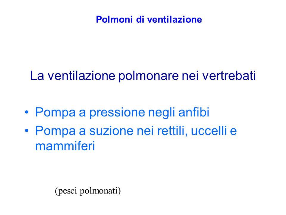 La ventilazione polmonare nei vertrebati Pompa a pressione negli anfibi Pompa a suzione nei rettili, uccelli e mammiferi Polmoni di ventilazione (pesc