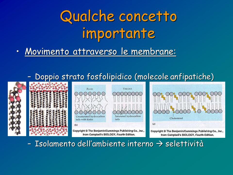 Qualche concetto importante Movimento attraverso le membrane:Movimento attraverso le membrane: –Doppio strato fosfolipidico (molecole anfipatiche) –Isolamento dell'ambiente interno  selettività