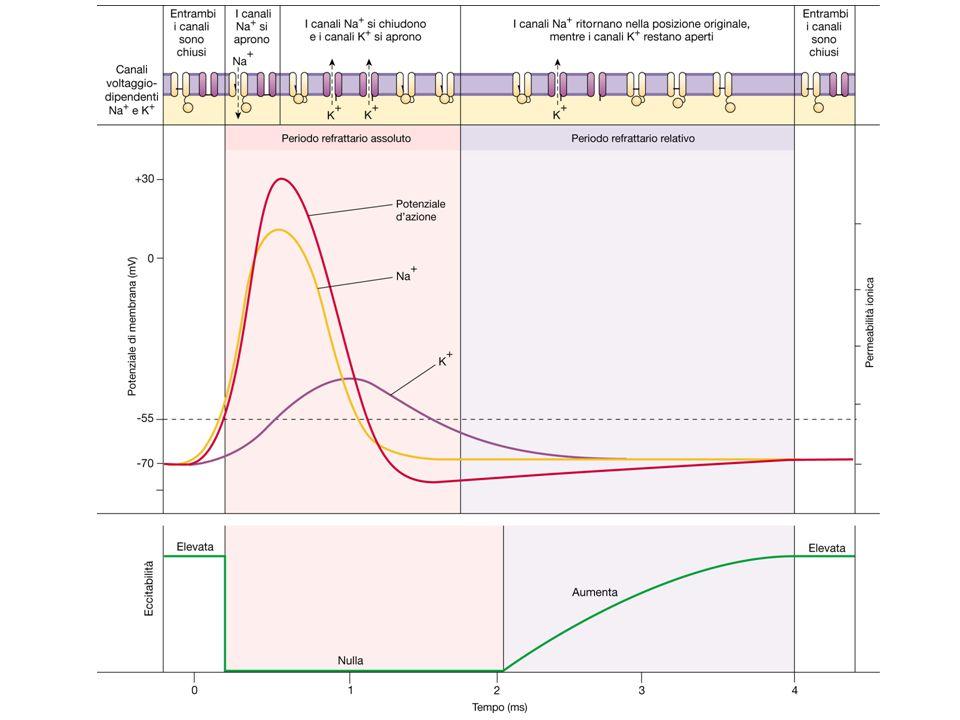 Sinapsi elettriche Nessun ritardo sinaptico Trasmissione potenzialmente bidirezionale Possono essere trasmesse sia depolarizzazioni sia iperpolariz- zazioni Nessuna inversione di polarità del segnale di input Sinapsi chimiche Ritardo sinaptico Trasmissione sempre uni dire- zionale Solo la depolarizzazione pre sinaptica è efficace per la trasmissione Possibile inversione di polarità dello stimolo di input DIFFERENZE TRA SINAPSI CHIMICHE ED ELETTRICHE