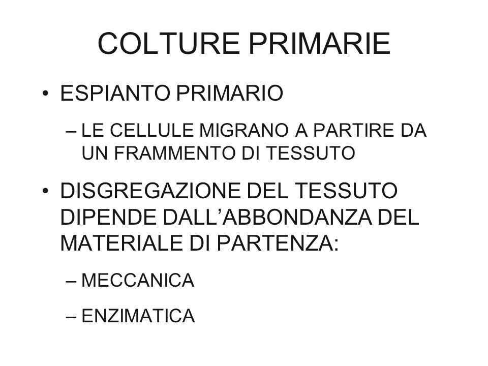 COLTURE PRIMARIE ESPIANTO PRIMARIO –LE CELLULE MIGRANO A PARTIRE DA UN FRAMMENTO DI TESSUTO DISGREGAZIONE DEL TESSUTO DIPENDE DALL'ABBONDANZA DEL MATE