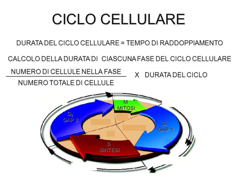 CICLO CELLULARE G 2 GAP 2 MMITOSI G 1 GAP 1 SSINTESI DURATA DEL CICLO CELLULARE = TEMPO DI RADDOPPIAMENTO CALCOLO DELLA DURATA DI CIASCUNA FASE DEL CI