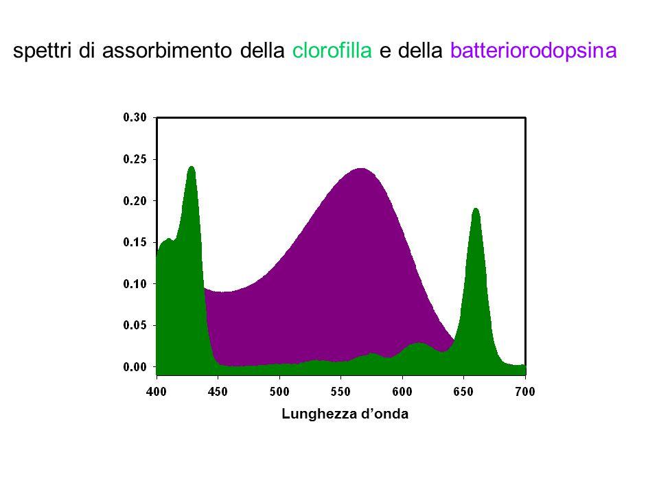 Lunghezza d'onda spettri di assorbimento della clorofilla e della batteriorodopsina