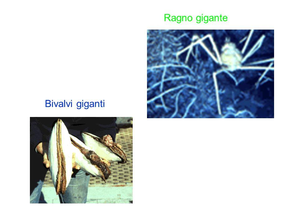 Ragno gigante Bivalvi giganti