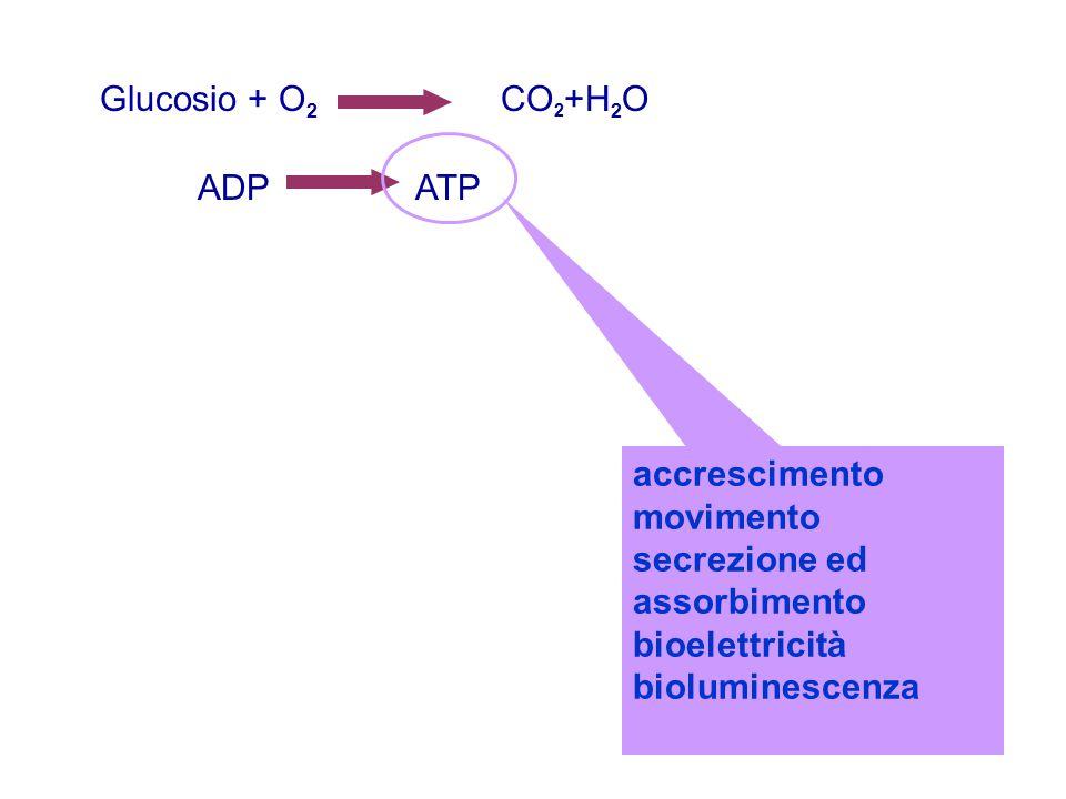 Glucosio + O 2 CO 2 +H 2 O ADP ATP accrescimento movimento secrezione ed assorbimento bioelettricità bioluminescenza