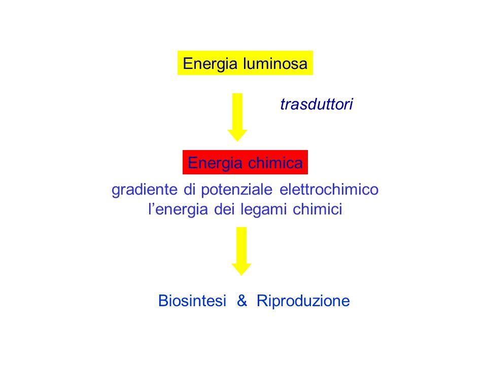 Energia luminosa Energia chimica Biosintesi & Riproduzione gradiente di potenziale elettrochimico l'energia dei legami chimici trasduttori