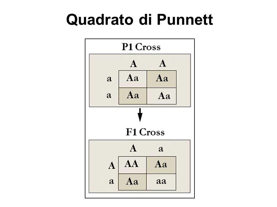 ANALISI MENDELIANA : 1 GENE Quadrato di Punnett Rapporti genotipici 3 A- : 1 a/a Rapporti fenotipici